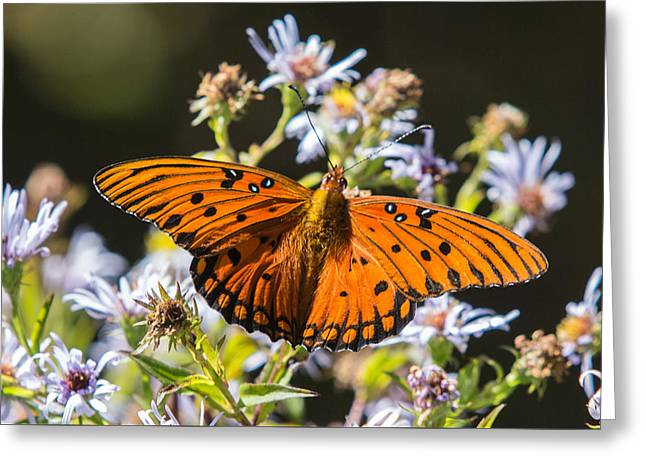 Nc Greeting Cards - Passion Butterfly Greeting Card by John Haldane
