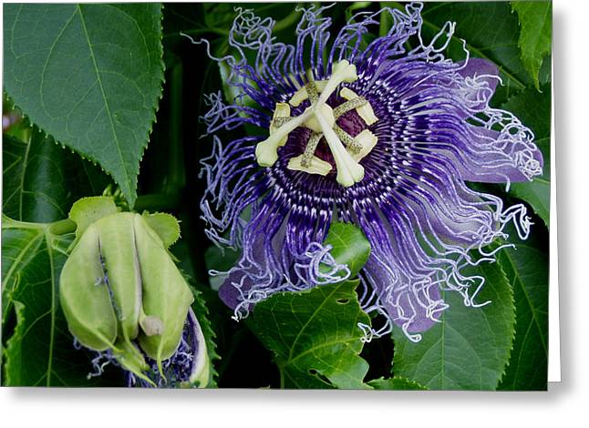 Passionflower Greeting Cards - Passion Greeting Card by Christena Carp