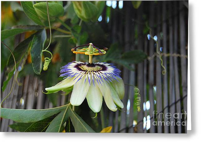 Passion Fruit Greeting Cards - Passion Flower and Vines Greeting Card by Debra Thompson