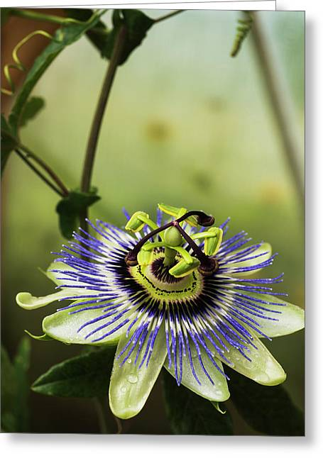 Passion Flower Blooms In A Greenhouse Greeting Card by Robert L. Potts