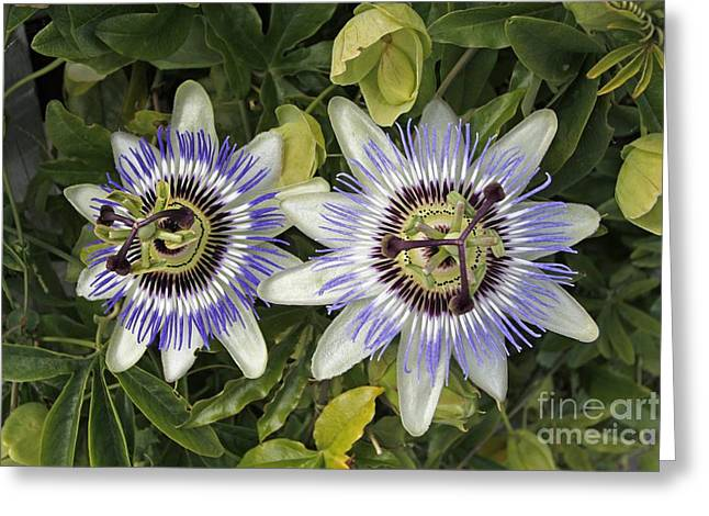 Passiflora Greeting Cards - Passion Flower Hybrid Cultivar Greeting Card by Tony Craddock