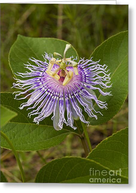 Passiflora Greeting Cards - Passion Flower Greeting Card by John Arnaldi