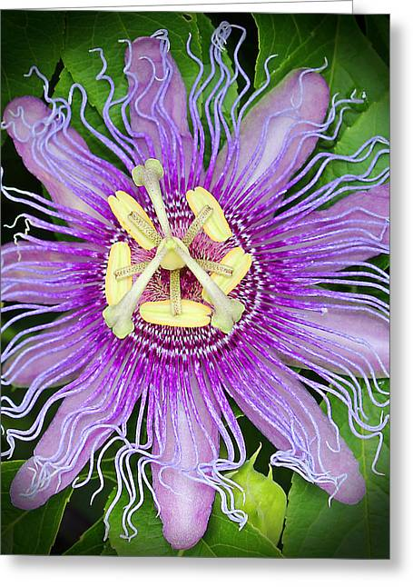Passiflora Greeting Cards - Passion Flower Greeting Card by Judy Vincent