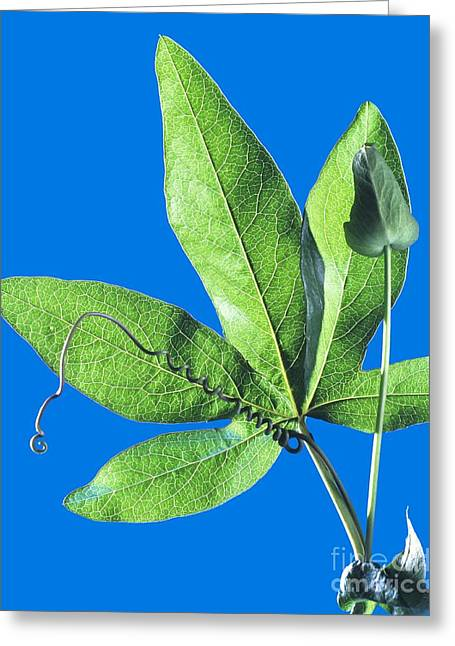Passiflora Greeting Cards - Passion Flower Leaf Greeting Card by Martyn F. Chillmaid