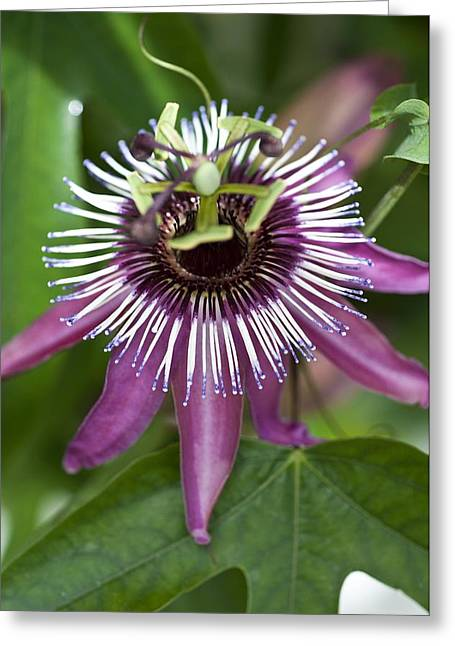 Passiflora Greeting Cards - Passion Flower (Passiflora caerulea) Greeting Card by Science Photo Library