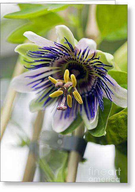 Passiflora Greeting Cards - Passion Flower (passiflora Sp.) Greeting Card by Dr Keith Wheeler