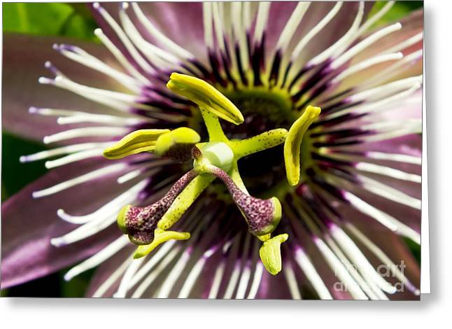 Passiflora Greeting Cards - Passion Flower (passiflora victoria) Greeting Card by Ian Gowland
