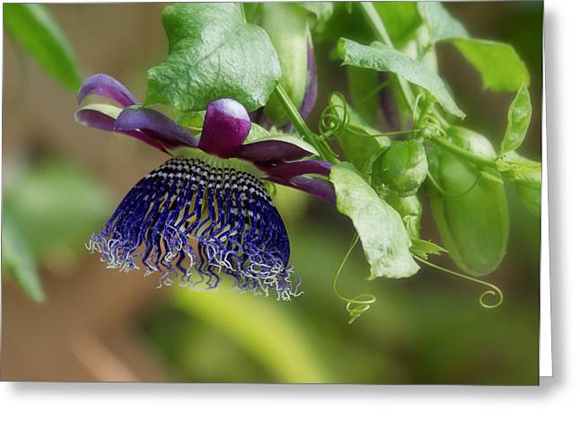 Charming Cottage Greeting Cards - Passion Flower - Ruby Glow Greeting Card by Kim Hojnacki