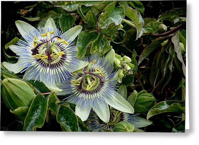 Passion Fruit Greeting Cards - Passion Flowers  Greeting Card by Gavin Wakerell