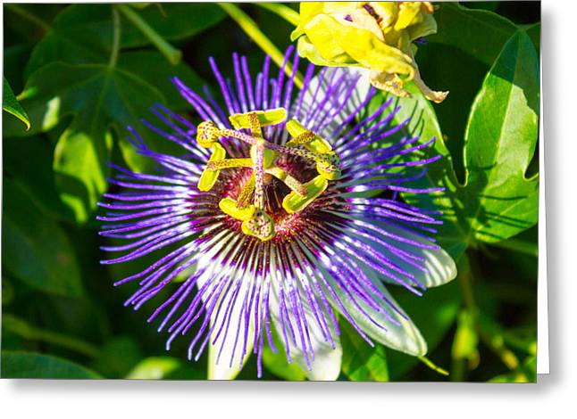 Passion Fruit Greeting Cards - Passion Fruit Flower Greeting Card by Glen Laughton