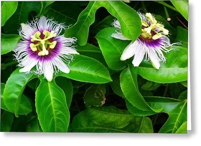 Passion Fruit Flowers Greeting Card by Adriana Dolabella
