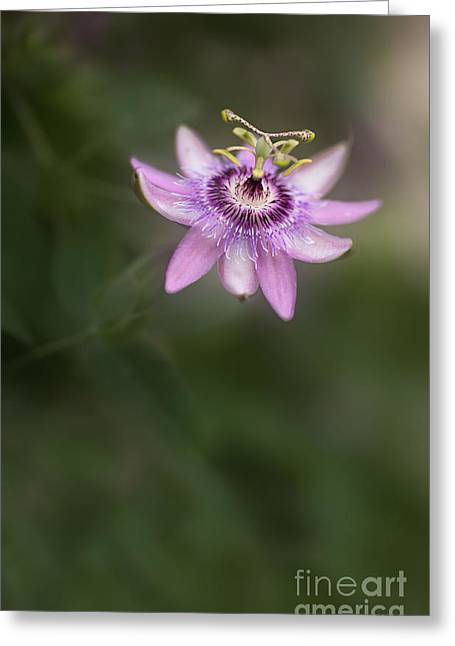 Passion Flower Greeting Cards - Passion Greeting Card by Rebecca Cozart