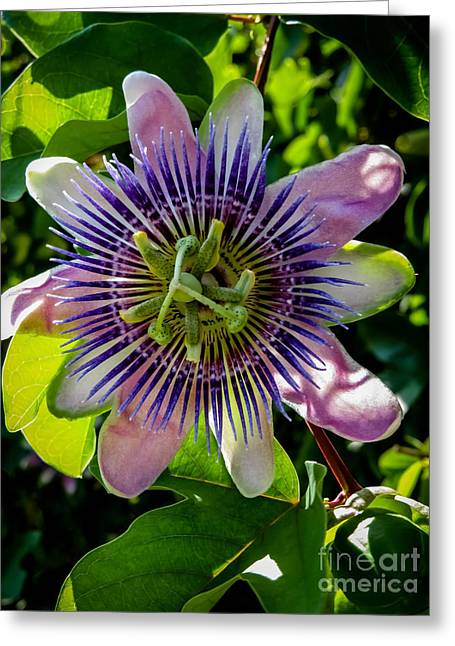 Passion Vine Greeting Card by Zina Stromberg