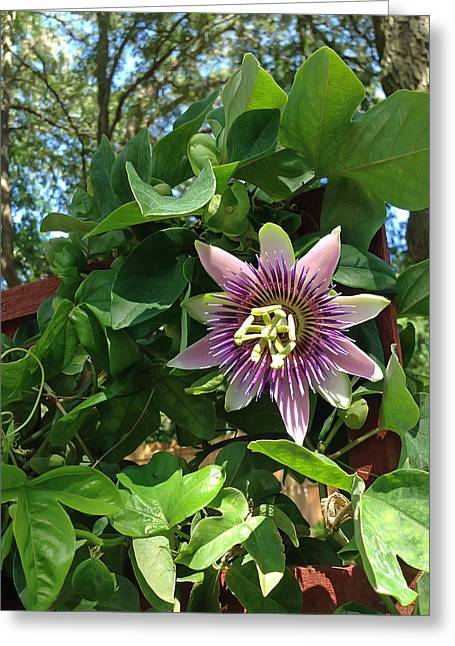 Pretty Flowers Greeting Cards - Passion Flower 3 Greeting Card by Aimee L Maher Photography and Art