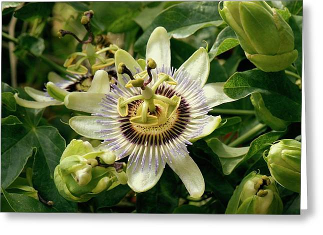 Passionflower (passiflora Caerulea) Greeting Card by Adrian Thomas