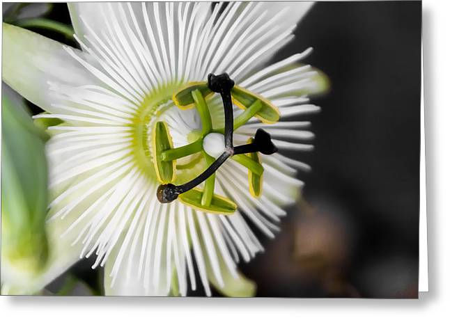 Passionflower Greeting Cards - Passionflower Greeting Card by Photographic Art by Russel Ray Photos