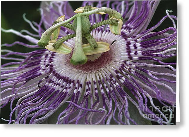 Passionflower Greeting Cards - Passionflower Greeting Card by Steven Foster