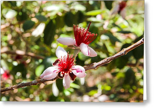 Passionfruit Photographs Greeting Cards - Passionfruit Guava Blossom Greeting Card by Nancy Heimstra