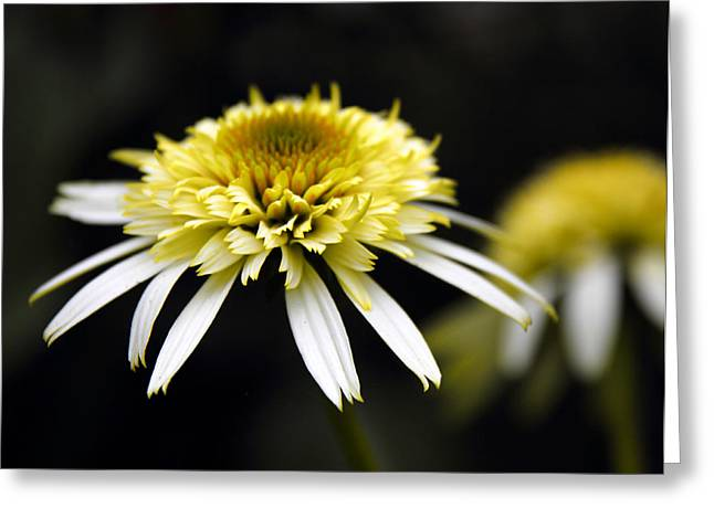 Cone Flowers Greeting Cards - Past and Present Greeting Card by Jessica Jenney