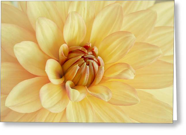 Kim Photographs Greeting Cards - Pastel Dahlia Greeting Card by Kim Hojnacki