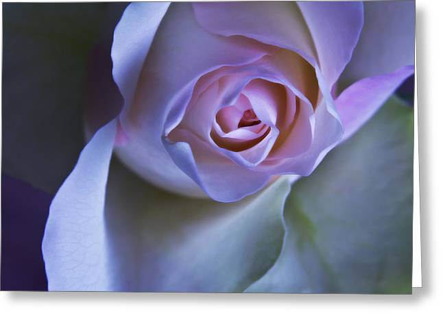 Pink Flower Prints Greeting Cards - Pastel Pink Rose - Macro Flower Photograph Greeting Card by Artecco Fine Art Photography