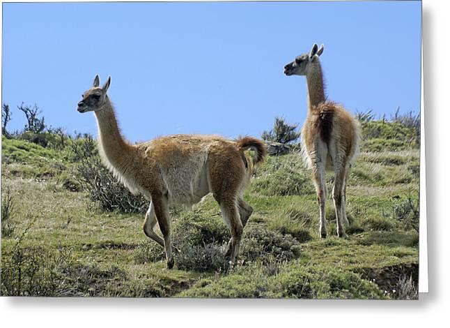 Llama Photographs Greeting Cards - Patagonian Guanacos Greeting Card by Michele Burgess