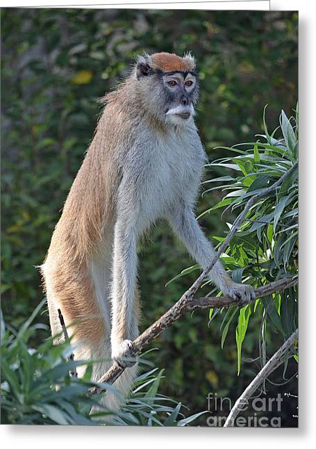Patas Monkey On High Alert Greeting Card by Jim Fitzpatrick