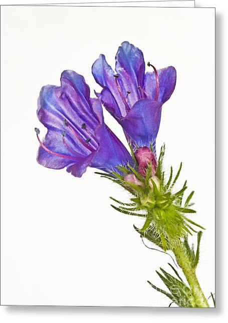 Stigma Greeting Cards - Patersons Curse Greeting Card by Christopher Edmunds