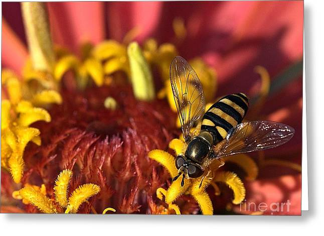 Zinnia Elegans Greeting Cards - Patience Greeting Card by Chris Fleming