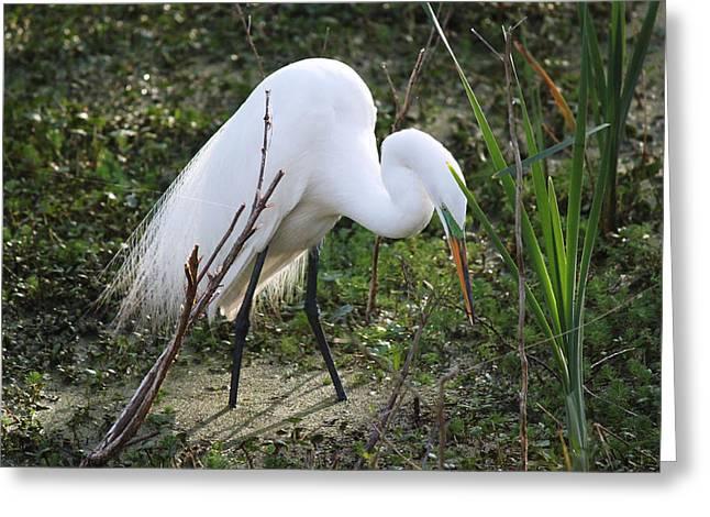 Hunting Bird Greeting Cards - Charleston SC Snowy White Egret Greeting Card by Ella Char