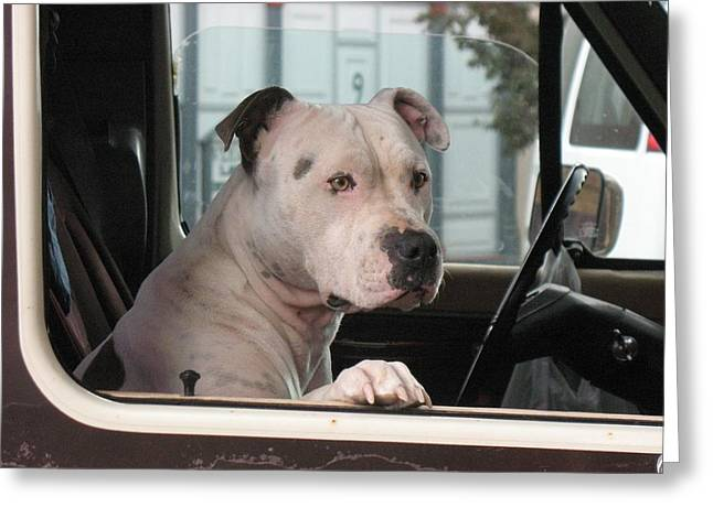 Bully Greeting Cards - Patient Rose Pit Bull Dog Portrait in Evanston Wyoming Greeting Card by  Andrea Lazar
