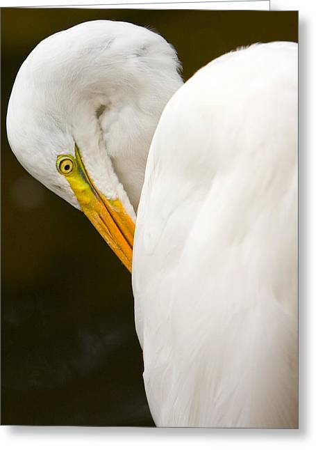 Pause Pyrography Greeting Cards - Pausing Egret Greeting Card by Jerry Hetrick