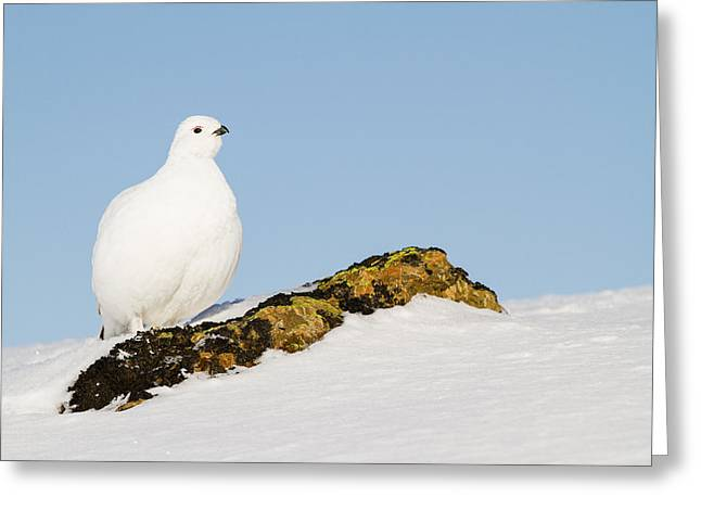 White Willow Greeting Cards - Pausing on a Boulder Greeting Card by Tim Grams