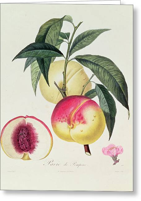 Peach Drawings Greeting Cards - Pavie de Pompone Greeting Card by Pierre Antoine Poiteau