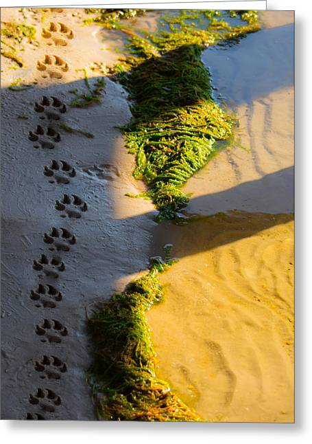 Dog Beach Card Greeting Cards - Pawprints In The Sand Greeting Card by Parker Cunningham