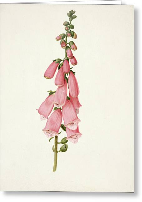 Foxglove Greeting Card by Pieter Withoos