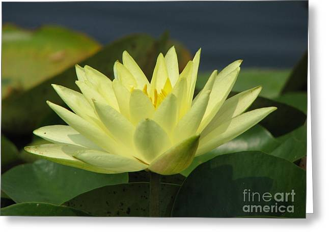 Water Lilly Digital Greeting Cards - Peace Greeting Card by Amanda Barcon