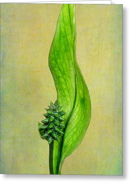 Lily Stamen Greeting Cards - Peace Lily Greeting Card by David and Carol Kelly