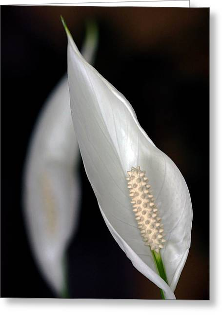 Carbon Monoxide Greeting Cards - Peace Lily Flower Greeting Card by Debbie Oppermann