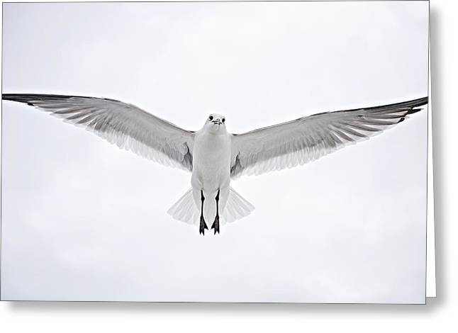 Flying Seagull Greeting Cards - Peace on Earth  Good Will to Men Greeting Card by Bonnie Barry
