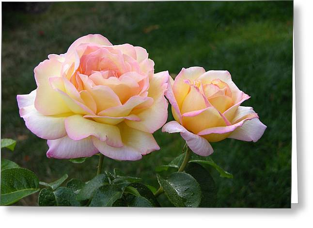 Peace Rose Greeting Card by Lynne Thibault