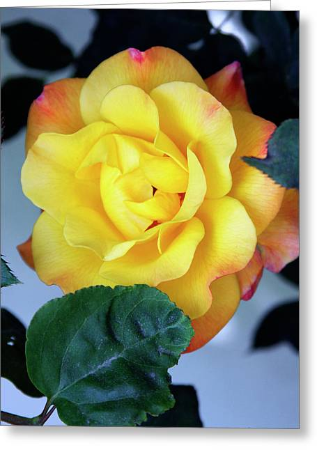 Featured Art Greeting Cards - PEACE ROSE Palm Springs Greeting Card by William Dey
