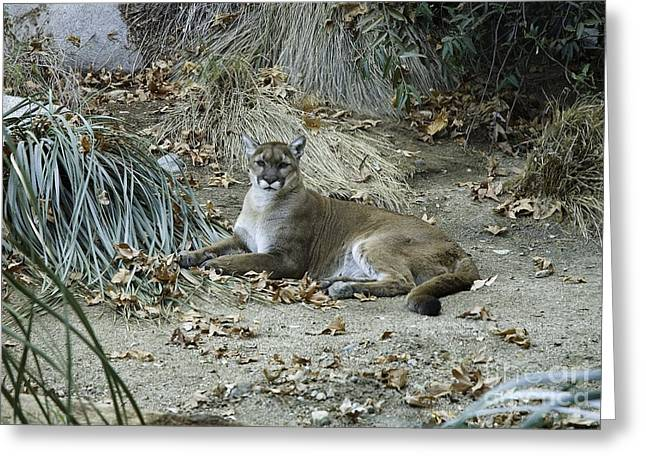 Bobcats Photographs Greeting Cards - Peaceful Bobcat Greeting Card by Mae Wertz