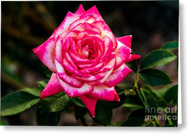 Rosebush Greeting Cards - Peaceful Rose Greeting Card by Robert Bales