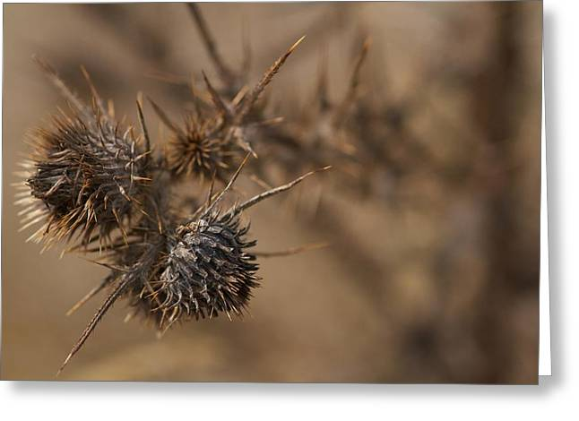 Thistle Balls Greeting Card by Scott Holmes