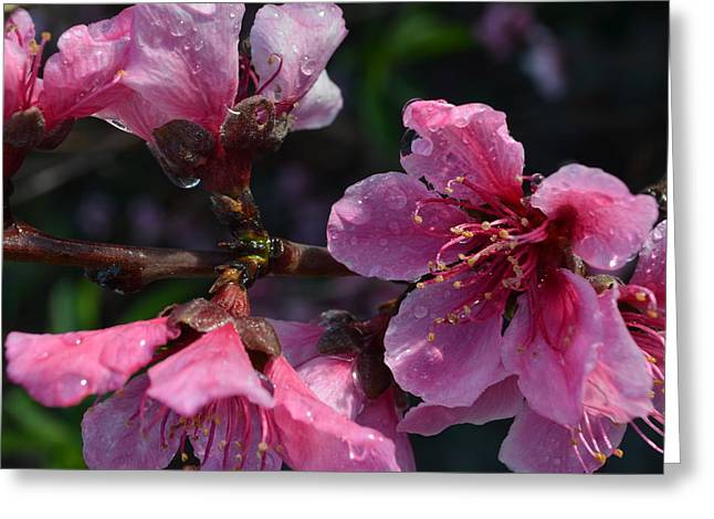 Peach Blossoms 1.3 Greeting Card by Cheryl Miller