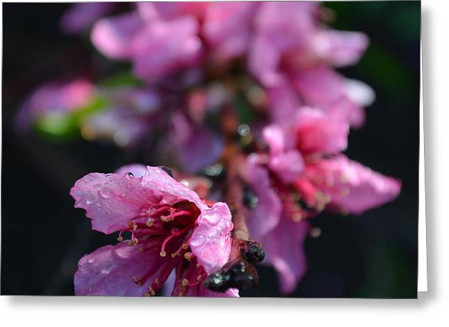 Peach Blossoms 1.4 Greeting Card by Cheryl Miller