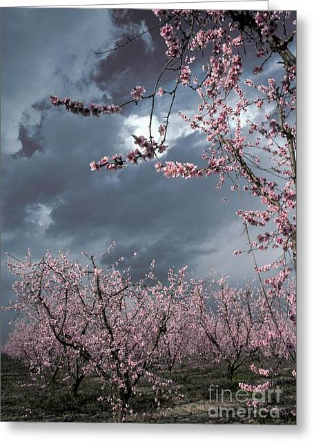 Prunus Persica Greeting Cards - Peach Blossoms Greeting Card by Ron Sanford