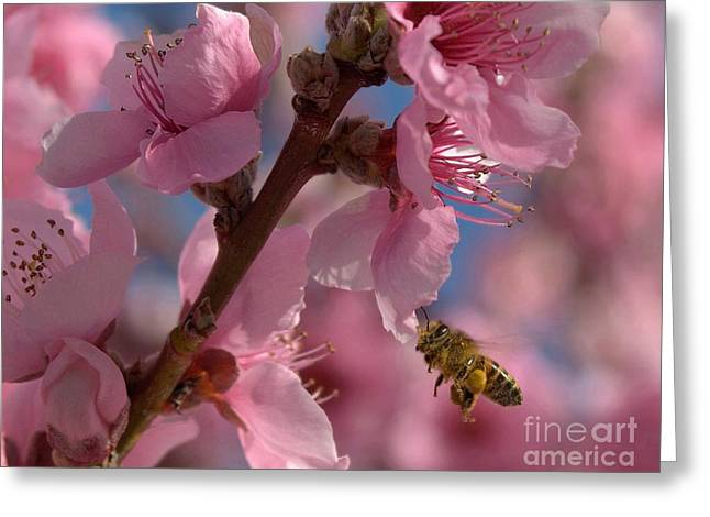 Fruit Tree Art Print Greeting Cards - Peach Blossoms with a Honey Bee Greeting Card by K D Graves
