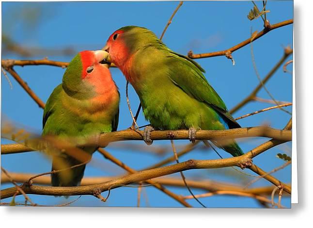 Peach-faced Lovebird Greeting Cards - Peach Faced Lovebirds Greeting Card by Victor Q Flores